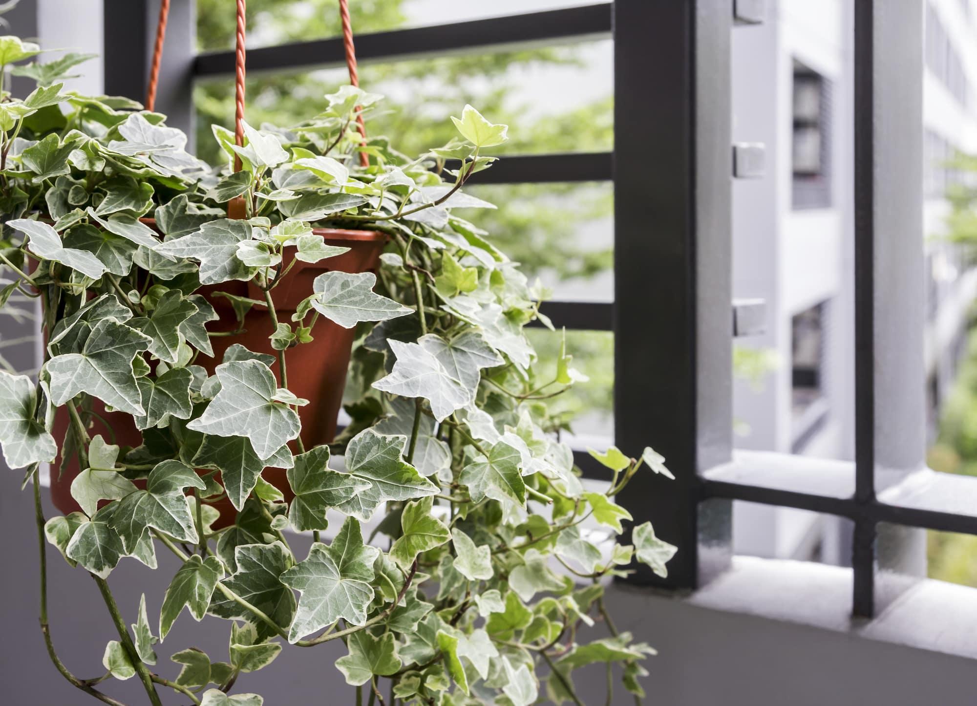 English Ivy indoor bedroom plant